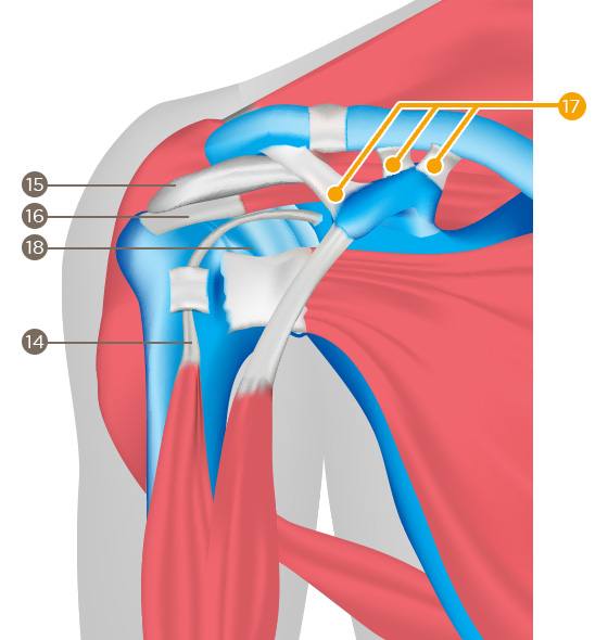 Ligaments (coracoclavicular ligament)